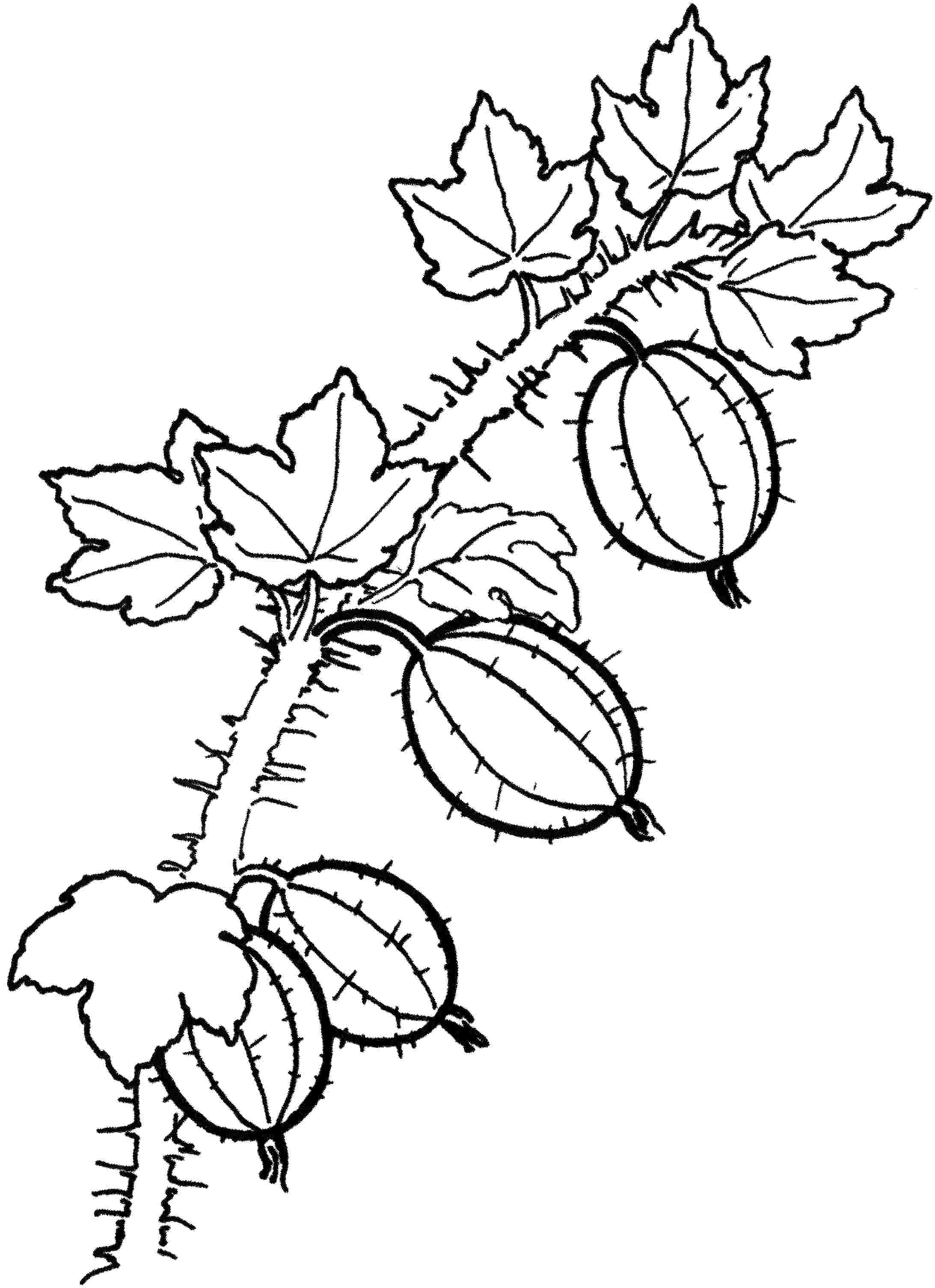 Раскраска ягоды - 2