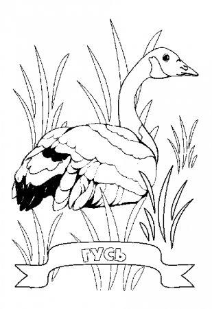 Домашние птицы картинки раскраски